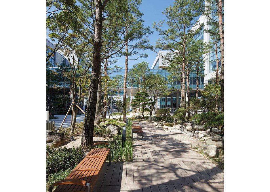 Korean pines, mature and up to 40ft tall, sit in deep plantrs to form a 'meandering way' through the urban site