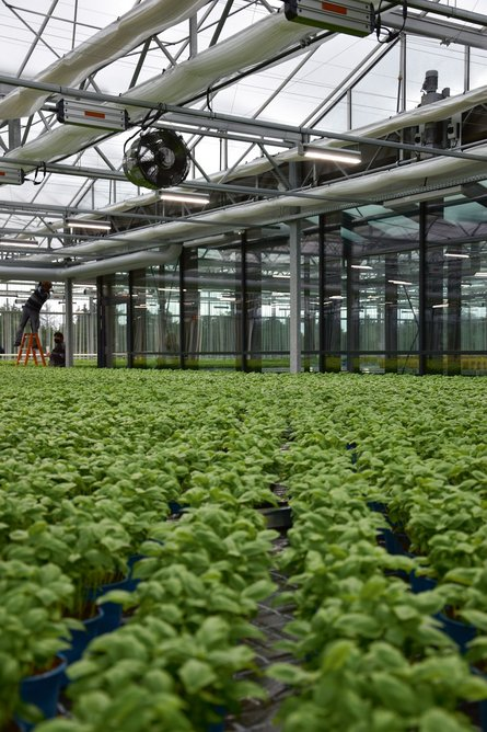 Mature plants are placed in sunlight, but seedlings are stacked vertically and grow under LED light with automated watering systems.