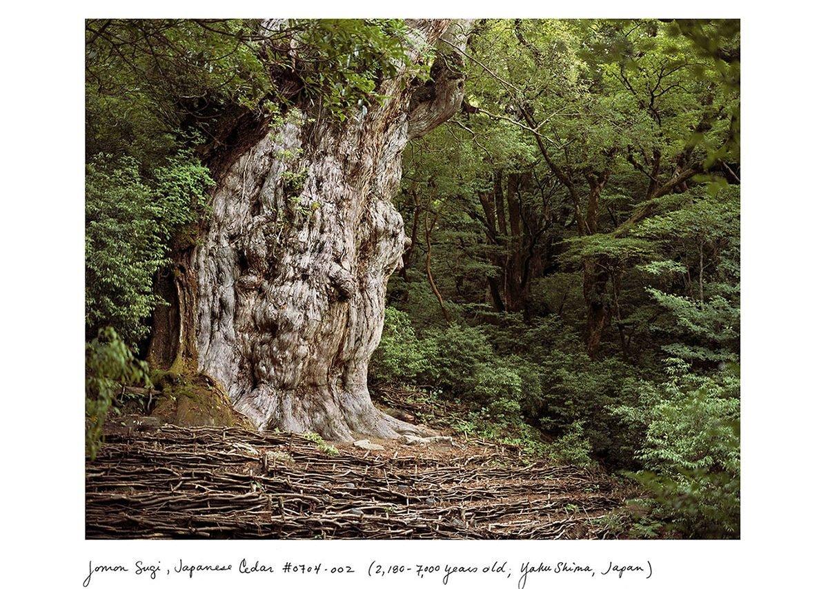 Rachel Sussman Jomon Sugi, Japanese Cedar #0704-002 (2,180–7,000 years old); Yakushima, Japan, 2004 Archival print 111.8 x 137.2 cm
