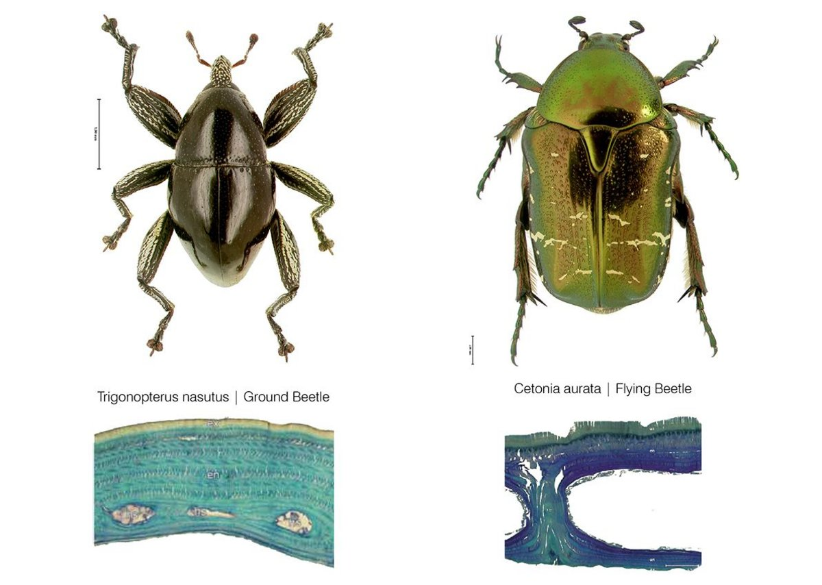 Inspiration for  Achim Menges pavilion, a comparison of internal elytron architecture_in_flying and flightless beetle.