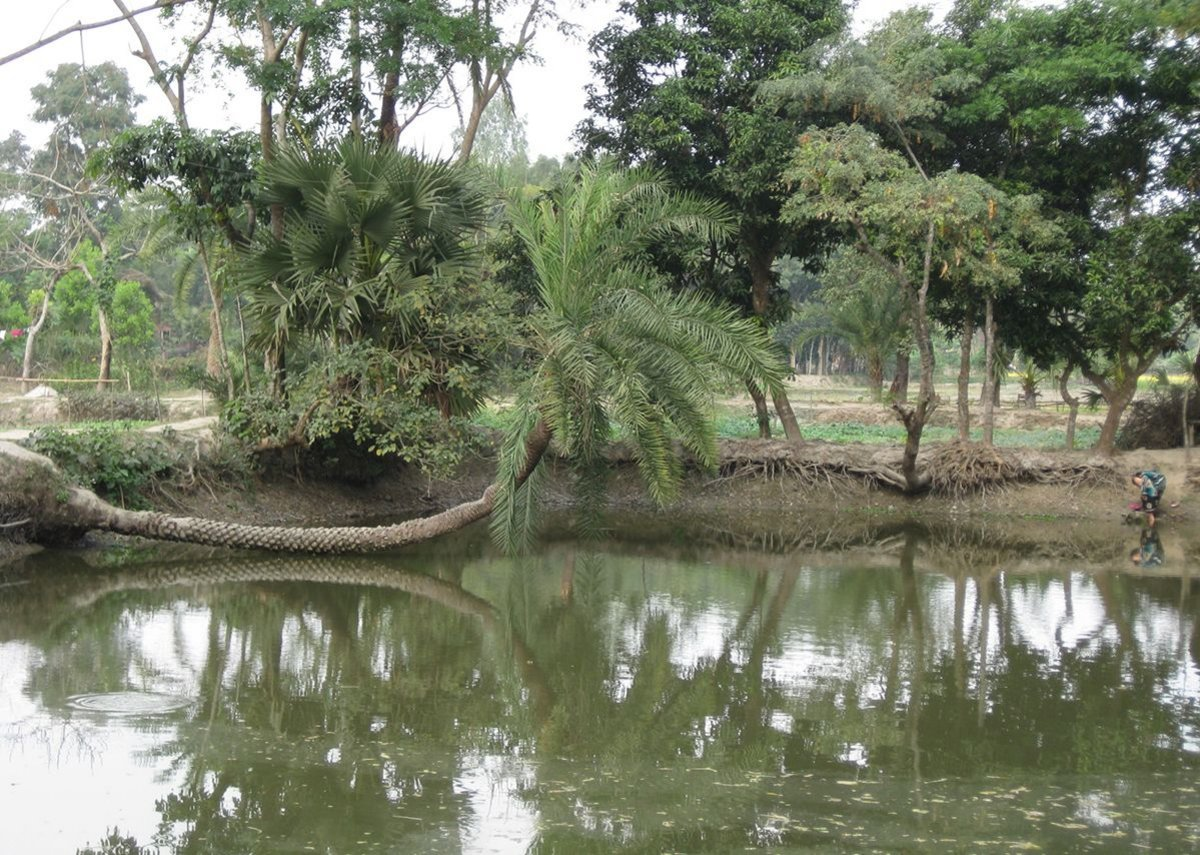 The Rajapur village ecology can be read through the community's engagement with  their fish ponds – a ditch typically rectangular in shape, known as 'pukur' in Bengali