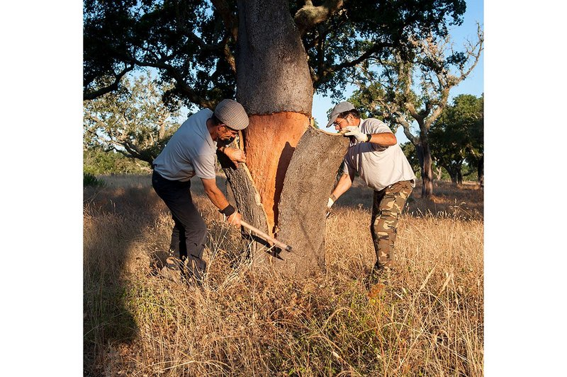 Cork being harvested from a Cork Oak in Portugal.